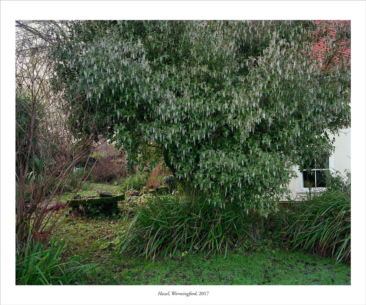 Hazel, Wormingford 2017 v2