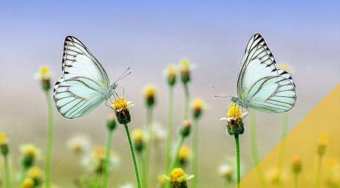blogmainimagetemplate butterflies