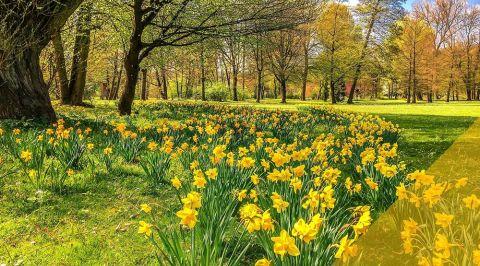 blogmainimagetemplate daffodils