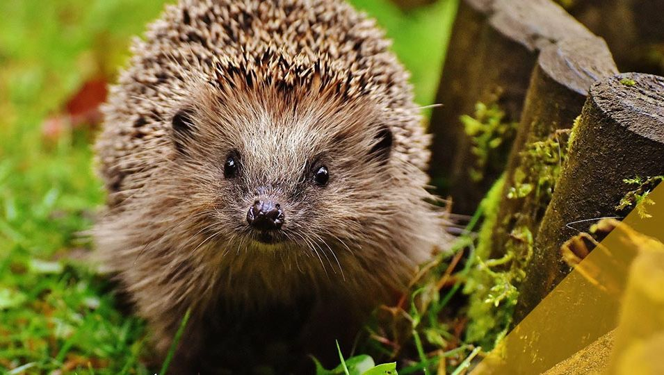 blogmainimagetemplate hedgehog